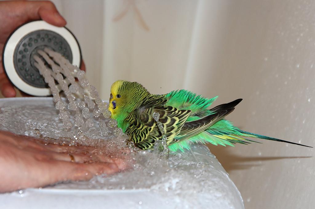 попугай купается
